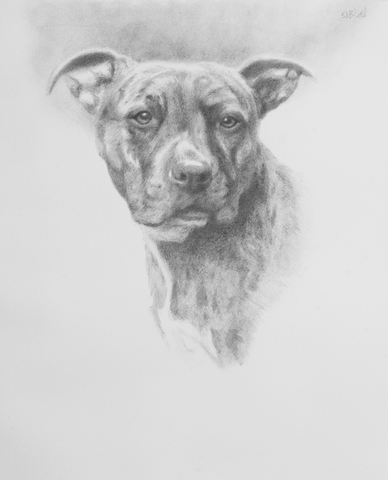 A head and shoulder pet portrait in graphite on paper of a pit bull dog.