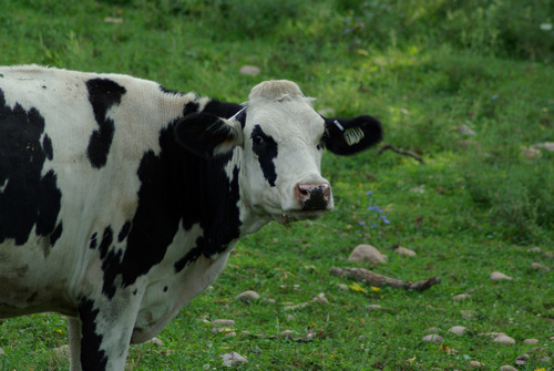A Holstein cow seen from the side