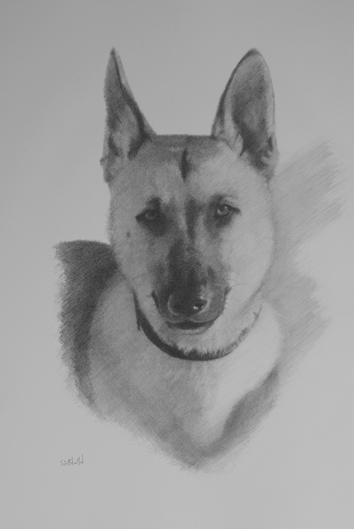 A portrait of a German shepherd dog in pencil on paper